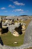 animal;Elephant-Rocks;geological;geology;N.Z.;New-Zealand;North-Otago;NZ;Otago;rock;rock-formation;rock-formations;rock-outcrop;rock-outcrops;rock-tor;rock-torr;rock-torrs;rock-tors;rocks;S.I.;sedementary;sheep;SI;South-Is;South-Island;Sth-Is;stock;stone;unusual;Waitaki;Waitaki-District;Waitaki-Region