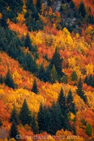 Arrowtown;Arrowtown-Hill;autuminal;autumn;autumn-colour;autumn-colours;autumnal;central-otago;color;colors;colour;colours;conifer;conifers;deciduous;fall;gold;golden;larch;leaf;leaves;mountain-ash;N.Z.;near-Queenstown;New-Zealand;NZ;orange;orange-mountain-ash;Otago;pine;pine-tree;pine-trees;pines;Queenstown;rowan;rowan-tree;rowan-trees;S.I.;season;seasonal;seasons;SI;sorbus;Sorbus-aucaparia;South-Is;South-Is.;South-Island;Southern-Lakes;Southern-Lakes-District;Southern-Lakes-Region;Sth-Is;Tobins-Track;Tobins-Track;tree;trees;yellow