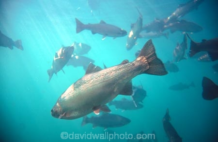 Rainbow-Trout;Salmo-gaidnerii;Lake-Wakatipu;wakatipu;lake;lakes;Queenstown;south-island;new-zealand;under-water;water;underwater;under_water;fish;trout;fishes;trouts;many;lots;swim;swims;school;fishing;observatory;observatories;underwaterworld;underwater-world;queenstown-underwater-world