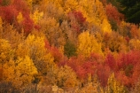 Arrowtown;Arrowtown-Hill;autuminal;autumn;autumn-colour;autumn-colours;autumnal;Central-Otago;color;colors;colour;colours;conifer;conifers;deciduous;fall;gold;golden;larch;leaf;leaves;mountain-ash;N.Z.;near-Queenstown;New-Zealand;NZ;orange;orange-mountain-ash;Otago;Queenstown;rowan;rowan-tree;rowan-trees;S.I.;season;seasonal;seasons;SI;sorbus;Sorbus-aucaparia;South-Is;South-Is.;South-Island;Southern-Lakes;Southern-Lakes-District;Southern-Lakes-Region;Sth-Is;Tobins-Track;Tobins-Track;tree;trees;yellow