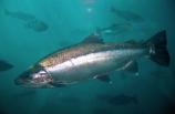 Rainbow-Trout;Salmo-gaidnerii;Lake-Wakatipu;wakatipu;lake;lakes;Queenstown;south-island;new-zealand;under-water;water;underwater;under_water;fish;trout;fishes;trouts;many;lots;swim;swims;school;fishing