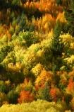 Arrowtown;autuminal;autumn;autumnal;central-otago;color;colors;colour;colours;conifer;conifers;deciduous;fall;gold;golden;larch;leaf;leaves;mountain-ash;New-Zealand;orange;orange-mountain-ash;Queenstown;rowan;sorbus;South-Island;tree;trees;yellow