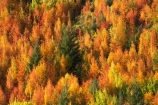 Arrowtown;autuminal;autumn;autumn-colour;autumn-colours;autumnal;Central-Otago;color;colors;colour;colours;deciduous;fall;leaf;leaves;N.Z.;near-Queenstown;New-Zealand;NZ;orange;Otago;rowan-tree;rowan-trees;S.I.;season;seasonal;seasons;SI;Sorbus-aucaparia;South-Is.;South-Island;Southern-Lakes;Southern-Lakes-District;Southern-Lakes-Region;Tobins-Track;Tobins-Track;tree;trees;yellow