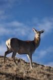 agriculatural;agricultural;agriculture;Animal;Animals;Cervus-elaphus;country;countryside;Deer;Deer-Park-Heights;Deers;farm;farming;farmland;farms;female;females;field;fields;Kelvin-Heights;Lake-Wakatipu;Mammal;Mammals;meadow;meadows;N.Z.;Nature;New-Zealand;NZ;Otago;Outdoor;Outdoors;Outside;paddock;paddocks;pasture;pastures;Queenstown;red-deer;Region;rural;S.I.;SI;South-Is;South-Is.;South-Island;Southern-Lakes;Southern-Lakes-District;Southern-Lakes-Region;The-Deer-Park;Wild;Wildlife;Zoology