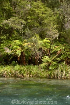 beautiful;beauty;bush;clean-water;clear-water;cyathea;Eastern-Bay-of-Plenty;endemic;fern;ferns;forest;forests;frond;fronds;green;Kawerau;Lake-Tarawera-Scenic-Reserve;N.I.;N.Z.;native;native-bush;natives;natural;nature;New-Zealand;NI;North-Is;North-Island;NZ;plant;plants;ponga;pongas;punga;pungas;river;rivers;scene;scenic;Tarawera-River;timber;tree;tree-fern;tree-ferns;trees;water;wood;woods