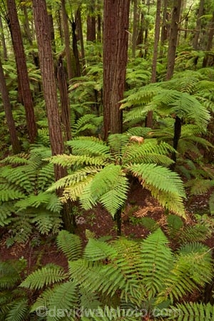Bay-of-Plenty-Region;bush;eco_tourism;ecotourism;fern;fern-frond;fern-fronds;ferns;forest;frond;fronds;N.I.;N.Z.;native-bush;native-forest;New-Zealand;NI;North-Is;North-Island;Nth-Is;NZ;ponga;pongas;punga;pungas;redwood;Redwood-Forest;redwood-tree;redwood-trees;redwoods;Redwoods-Forest;Redwoods-Treewalk;Rotorua;The-Redwoods;tourism;tree-fern;tree-ferns;tree-trunk;tree-trunks;Treetop-walk;Treewalk;trunk;trunks;Whakarewarewa-Forest