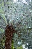 cyathea;cyathea-dealbata;cyatheaceae;emblem;fern;ferns;frond;fronds;grey;icon;icons;logo;N.I.;N.Z.;native;nature;New-Zealand;NI;North-Island;NZ;plant;plants;ponga;pongas;punga;pungas;silver-fern;symbol;symbols;tree-fern;tree-ferns;white
