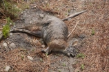 accident;Animal;Animals;dead;Dead-Wallaby;death;Eastern-Bay-of-Plenty;Kawerau;killed;Mammal;Mammals;marsupial;Marsupials;N.I.;N.Z.;New-Zealand;NI;North-Is;North-Island;NZ;road;road-kill;roadkill;roads;roadside;rural;wallabies;Wild;Wildlife;Zoology