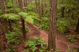 Bay-of-Plenty-Region;bush;eco_tourism;ecotourism;fern;fern-frond;fern-fronds;ferns;forest;frond;fronds;hiking-trail;hiking-trails;N.I.;N.Z.;native-bush;native-forest;New-Zealand;NI;North-Is;North-Island;Nth-Is;NZ;path;paths;pathway;pathways;ponga;pongas;punga;pungas;redwood;Redwood-Forest;redwood-tree;redwood-trees;redwoods;Redwoods-Forest;Redwoods-Treewalk;Rotorua;route;routes;The-Redwoods;tourism;track;tracks;trail;trails;tree-fern;tree-ferns;tree-trunk;tree-trunks;Treetop-walk;Treewalk;trunk;trunks;walking-path;walking-paths;walking-trail;walking-trails;walkway;walkways;Whakarewarewa-Forest