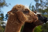alpaca;alpacas;animal;animals;farm-animal;farm-animals;Mossburn;Mossburn-Country-Park;N.Z.;New-Zealand;NZ;S.I.;SI;South-Is;South-Island;Southland;Sth-Is