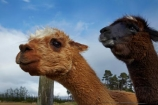 alpaca;alpacas;farm-animal;farm-animals;Mossburn;Mossburn-Country-Park;N.Z.;New-Zealand;NZ;S.I.;SI;South-Is;South-Island;Southland;Sth-Is