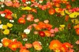 3783;bloom;blooms;botanic-garden;botanic-gardens;botanical-garden;botanical-gardens;color;colorful;colour;colourful;floral;flowers;garden;gardens;invercargill;invercargill-botanic-garden;island;N.Z.;new;new-zealand;NZ;orange;park;poppies;poppy;Queens-Park;Queens-Park-Gardens;Queens-Pk;queens;Queens-Park;Queens-Park-Gardens;Queens-Pk;S.I.;season;seasonal;seasons;SI;south;South-Is;South-Island;Southland;spring;spring-time;spring_time;springtime;Sth-Is.;yellow;zealand