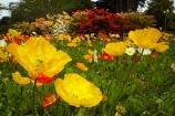 3801;bloom;blooms;botanic-garden;botanic-gardens;botanical-garden;botanical-gardens;color;colorful;colour;colourful;floral;flowers;garden;gardens;invercargill;invercargill-botanic-garden;island;N.Z.;new;new-zealand;NZ;orange;park;poppies;poppy;Queens-Park;Queens-Park-Gardens;Queens-Pk;queens;Queens-Park;Queens-Park-Gardens;Queens-Pk;rhododendron;S.I.;season;seasonal;seasons;SI;south;South-Is;South-Island;Southland;spring;spring-time;spring_time;springtime;Sth-Is.;yellow;zealand