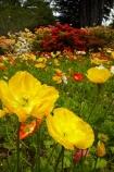 3820;bloom;blooms;botanic-garden;botanic-gardens;botanical-garden;botanical-gardens;color;colorful;colour;colourful;floral;flowers;garden;gardens;invercargill;invercargill-botanic-garden;island;N.Z.;new;new-zealand;NZ;orange;park;poppies;poppy;Queens-Park;Queens-Park-Gardens;Queens-Pk;queens;Queens-Park;Queens-Park-Gardens;Queens-Pk;rhododendron;S.I.;season;seasonal;seasons;SI;south;South-Is;South-Island;Southland;spring;spring-time;spring_time;springtime;Sth-Is.;yellow;zealand