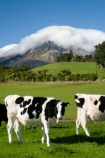 agricultural;agriculture;cattle;cloud;clouds;cloudy;country;countryside;cow;cows;crop;crops;dairy-cow;dairy-cows;dairy-farm;dairy-farms;farm;farming;farmland;farms;field;fields;horticulture;meadow;meadows;mist;mists;misty;N.I.;N.Z.;New-Zealand;NI;North-Island;NZ;paddock;paddocks;pasture;pastures;rural;shroud;shrouded;Taranaki