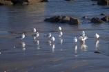 beach;beaches;bird;birds;coast;coastal;coastline;coastlines;coasts;Feather;N.I.;N.Z.;Natural;Nature;New-Plymouth;New-Zealand;NI;North-Is;North-Is.;North-Island;NZ;ocean;Ornithology;Port-Taranaki;sand;sandy;sea;seagull;seagulls;shore;shoreline;shorelines;shores;Taranaki;water;wild;Wildlife