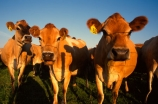 agricultural;agriculture;calves;cow;cows;dairy;farm;farming;farms;field;fields;grass;meadow;meadows;milk;milking;paddock;paddocks;pasture;rural
