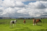 agricultural;agriculture;country;countryside;farm;farming;farmland;farms;fence;fence-line;fence-lines;fence_line;fence_lines;fenceline;fencelines;fences;field;fields;horse;horses;meadow;meadows;N.I.;N.Z.;New-Zealand;NI;North-Island;NZ;paddock;paddocks;pasture;pastures;rural;Te-Kauwhata;Waikato