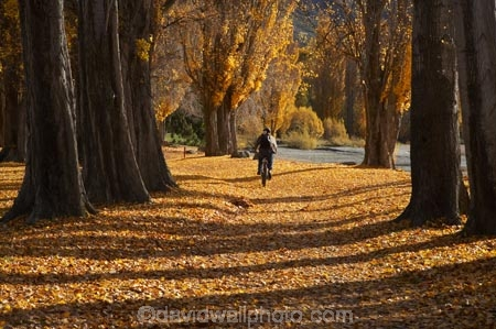 autuminal;autumn;autumn-colour;autumn-colours;autumn-leaves;autumnal;avenue;avenues;bicycle;bicycles;bike;bikes;Central-Otago;color;colors;colour;colours;cycle;cycler;cyclers;cycles;cyclist;cyclists;deciduous;fall;golden;Lake-Wanaka;leaf;leaves;mountain-bike;mountain-biker;mountain-bikers;mountain-bikes;mtn-bike;mtn-biker;mtn-bikers;mtn-bikes;N.Z.;New-Zealand;NZ;Otago;poplar;poplar-tree;poplar-trees;poplars;push-bike;push-bikes;push_bike;push_bikes;pushbike;pushbikes;S.I.;season;seasonal;seasons;SI;South-Island;Southern-Lakes;Southern-Lakes-District;Southern-Lakes-Region;tree;trees;trunk;trunks;Wanaka;yellow