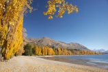 autuminal;autumn;autumn-colour;autumn-colours;autumnal;Central-Otago;color;colors;colour;colours;deciduous;fall;golden;lake;Lake-Wanaka;lakes;leaf;leaves;Mount-Alpha;Mt-Alpha;Mt.-Alpha;N.Z.;New-Zealand;NZ;Otago;poplar;poplar-tree;poplar-trees;poplars;Roys-Peak;S.I.;season;seasonal;seasons;SI;South-Is.;South-Island;Southern-Lakes;Southern-Lakes-District;Southern-Lakes-Region;tree;trees;Wanaka;yellow