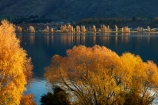 autuminal;autumn;autumn-colour;autumn-colours;autumnal;calm;Central-Otago;color;colors;colour;colours;deciduous;fall;gold;golden;lake;Lake-Wanaka;lakes;leaf;leaves;N.Z.;New-Zealand;NZ;Otago;placid;poplar;poplar-tree;poplar-trees;poplars;quiet;reflected;reflection;reflections;S.I.;season;seasonal;seasons;serene;SI;smooth;South-Is.;South-Island;Southern-Lakes;Southern-Lakes-District;Southern-Lakes-Region;Sth-Is;still;tranquil;tree;trees;Wanaka;water;willow;willow-tree;willow-trees;willows;yellow