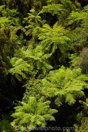 aerial-walkway;aerial-walkways;bush;Cythea-dealbata;fern;ferns;forest;forests;green;Hokitika;lush;N.Z.;native-bush;native-forest;native-forests;native-tree;native-trees;native-woods;natural;nature;New-Zealand;NZ;ponga;pongas;punga;pungas;S.I.;SI;silver-fern;silver-ferns;South-Is;South-Island;Sth-Is;tree;tree-fern;tree-ferns;Tree-top-Walk;Tree-top-Walkway;tree_fern;tree_ferns;Tree_top-Walk;Tree_top-Walkway;treefern;trees;Treetop-Walk;Treetop-Walkway;verdant;walkway;walkways;West-Coast;West-Coast-Treetop-Walk;West-Coast-Treetop-Walkway;Westland;wood;woods