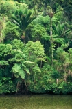 bush;native;forest;forests;rain-forest;fern;ferns;nikau;nikaus;aplm;palms;river;rivers;brook;brooks;stream;streams;creek;creeks;green;colour;colours;color;colors;lush;verdant;natural;nature;untouched;wilderness;unspoilt