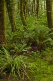 Beech-Forest;Blue-Pools;Blue-Pools-Track;Blue-Pools-Walk;bush;fern;ferns;forest;forests;green;Haast-Pass;lush;Makarora;moss;mosses;Mount-Aspiring-National-Park;Mt-Aspiring-N.P.;Mt-Aspiring-National-Park;Mt-Aspiring-NP;N.Z.;national-park;national-parks;native-bush;native-forest;native-forests;native-tree;native-trees;native-woods;natural;nature;New-Zealand;NZ;Otago;S.I.;SI;South-Is;South-Island;Sth-Is;tree;tree-trunks;trees;verdant;West-Coast;Westland;wood;woods