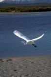 Animal;Animals;Aquatic-bird;Aquatic-birds;bird;birds;Egretta-alba;endangered;estuaries;estuary;fauna;feather;feathers;flight;fly;flying;heron;herons;inlet;inlets;Kotuku;lagoon;lagoons;N.Z.;native;natives;natural;Nature;New-Zealand;NZ;Okarito-Lagoon;Ornithology;rare;S.I.;SI;South-Is.;South-Island;threatened;tidal;tide;Wading-bird;Wading-birds;water;West-Coast;Westland;white;White-Heron;Wild;Wildlife
