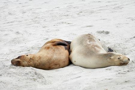animal;animals;beach;beaches;coast;coastal;cub;cubs;dunedin;hooker-sealion;hookers;hookers-sea-lion;mammal;mammals;marine;N.Z.;native;native-wildlife;natural-history;nature;new-zealand;New-Zealand-NZ;nz;Otago;Phocarctos-hookeri;pup;pups;S.I.;Saint-Clair-Beach;sand;sea-lion;sea-lions;seal;sealion;sealions;seals;SI;South-Is;South-island;St-Clair-Beach;St.-Clair-Beach;wildife;wildlife
