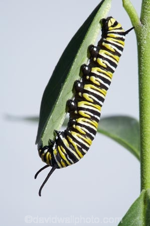 animal;animals;Asclepias;caterpillars;close_up;closeup;Danaus-plexippus;insect;insects;instar;invertebrate;larva;life-cycle;life_cycle;lifecycle;macro;metamorphosis;Milkweed;Monarch-Butterflies;Monarch-Butterfly;Monarch-Caterpillar;Swan-Plant