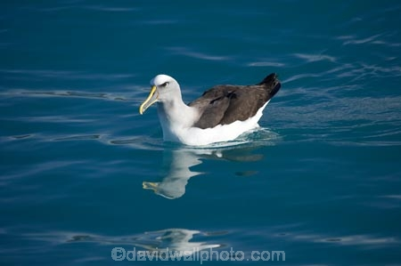 albatross;albatrosses;Animal;animals;Avian;Bird;bird-watching;bird_watching;birds;Bullers-Mollymawk;Bullers-Mollymawk;coastal;Diomedea-bulleri;eco-tourism;eco_tourism;ecotourism;Kaikoura;marine;Marlborough;mollymawk;mollymawks;N.Z.;native;Natural;natural-history;nature;new-zealand;NZ;ocean;Ornithology;rare;S.I.;sea;SI;South-Is;South-Island;wild;wildlife;Wing;wings