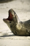 wildife;marine;mammal;nature;native;natural-history;otago-peninsula;mammals;seal;seals;leopard-seal;leopard-seals;dunedin;new-zealand;nz;Hydruga-leptonyx;yawn;laugh;mouth;teeth;dangerous;danger;sand;beach;beaches