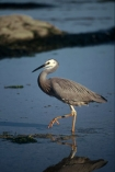 herons;bird;birds;feather;feathers;native;natives;fauna;natural;estuary;estuaries;birdwatcher;birdwatchers;bird-watcher;bird-watchers