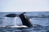 diving;tail;whale-tail;Physeter-macrocephalus;mammal;marine-mammal;cetacean;cetaceans;tails;sea;ocean
