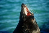 wildife;marine;mammal;nature;native;natural-history;otago-peninsula;mammals;Arctocephalus-forsteri;seal;seals;dunedin;new-zealand;nz;yawn;laugh;mouth;teeth;sand;beach;beaches;pointy-nose;whiskers;fur;snout;external-ears;acquatic;coastline;water,;sea;ocean;-