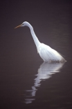 herons;bird;birds;feather;feathers;native;natives;fauna;natural;estuary;estuaries