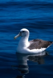 bird;birds;feather;feathers;marine;ocean;sea;coastal;seabird;wildlife;Diomedea-cauta;float;floating