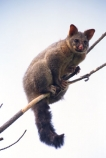 nocturnal;omnivorous;marsupial;introduced;species;vertebrate-pest;pest;fur;furs;skin;skins;hunt;hunted;tree;trees;branch;branches;climb;climber;tail