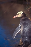 hoiho;wildlife;new-zealand;native;endangered;threatened;protected;nature;natural-history;yellow;eyed