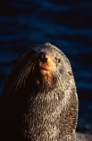 pointy-nose;whiskers;fur;snout;external-ears;acquatic;coastline;water;sea;ocean;marine;mammal;new-zealand;native;wildlife;natural-history;otago-peninsula;seals;natural;nature;mammals;Arctocephalus-forsteri