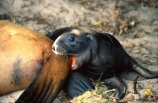New-Zealand-Sea-Lions;baby;infant;immature;junior;young;female;juvenile;bite;biting;lovebite;pup;pups;tail;teeth;bored;mother;gnaw;gnawing