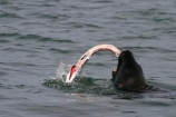 seal;fish;eat;eating;meal;food;catch;water;sea;ocean;kill;attack