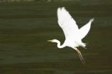 Animal;Animals;Aquatic-bird;Aquatic-birds;bird;birds;Egretta-alba;endangered;estuaries;estuary;fauna;feather;feathers;fly;flying;heron;herons;Kotuku;native;natives;natural;Nature;New-Zealand;Ornithology;rare;South-Island;threatened;Wading-bird;Wading-birds;white;White-Heron;Wild;Wildlife