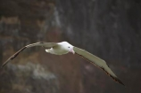 albatross-colony;Animal;animals;Avian;Beak;bird;bird-watching;bird_watching;birds;colonies;colony;Diomedea-epomophora;Dunedin;eco-tourism;eco_tourism;ecotourism;Fauna;Feather;flight;fly;flying;marine;Natural;Nature;New-Zealand;northern-royal-albatross;Ornithology;Otago-Peninsula;Royal-Albatross;South-Island;Taiaroa-Head;wild;wildlife;Wing;wingspan