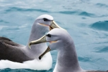 albatross;albatrosses;animal;animals;aquatic-bird;aquatic-birds;beak;beaks;bill;bills;bird;bird-watching;bird_watching;birds;coast;coastal;coasts;diomedea-cauta;diomedea-cauta-salvini;eco-tourism;eco_tourism;ecotourism;feather;feathers;kaikoura;marine;marine-bird;marine-birds;marinebird;marinebirds;marlborough;mollymawk;mollymawks;natural-history;nature;new-zealand;ocean;oceans;ornithology;pacific-ocean;salvins-albatross;salvins-albatrosses;salvins-mollymawk;salvins-mollymawks;salvini;salvins-albatross;salvins-albatrosses;salvins-mollymawk;salvins-mollymawks;sea;sea-bird;sea-birds;seabird;seabirds;shores;shy-albatross;shy-albatrosses;shy-mollymawk;shy-mollymawks;south-island;Thalassarche-cauta-salvini;Thalassarche-cauta-salvini;water-bird;water-birds;waterbird;waterbirds;wildlife