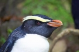 eco-tourism;eco-tourist;eco-tourists;eco_tourism;eco_tourist;eco_tourists;ecotourism;ecotourist;ecotourists;Eudyptes-pachyrhynchus;Fiordland-Crested-Penguin;Fiordland-Crested-Penguins;heritage-area;indigenous;N.Z.;native;New-Zealand;NZ;penguin;penguins;S.I.;SI;South-Island;Tawaki;te-wahi-pounamu;te-wahipounamu;te-wahipounamu-south_west-new-zealand-world-heritage-area;West-Coast;Westland;world-heirtage-site;world-heirtage-sites;world-heritage-area;world-heritage-areas