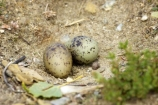 animal;animals;avian;bird;bird-watching;birds-eggs;bird_watching;birds;birds-eggs;Black_Fronted-Tern;camouflage;Central-Otago;eco-tourism;eco_tourism;ecotourism;egg;eggs;Fauna;Lake-Dunstan;N.Z.;native-wildlife;Natural;Nature;New-Zealand;New-Zealand-NZ;Ornithology;S.I.;SI;South-Is;South-island;Sterna-albostriata;wild;wildlife