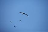 albatross;albatross-colony;albatrosses;Animal;animals;avian;Beak;bird;bird-watching;bird_watching;birds;colonies;colony;Diomedea-epomophora;Dunedin;eco-tourism;eco_tourism;ecotourism;Fauna;Feather;flight;fly;flying;marine;N.Z.;Natural;Nature;New-Zealand;northern-royal-albatross;NZ;Ornithology;Otago;Otago-Peninsula;Royal-Albatross;Royal-Albatrosses;S.I.;seagull;seagulls;SI;soar;soaring;South-Is.;South-Island;Taiaroa-Head;Taiaroa-Heads;wild;Wildlife;Wing;wingspan