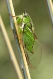 Amphipsalta;bug;bugs;chorus-cicada;cicada;Cicadidae;close-up;close-up-photo;close-up-photography;close_up;close_up-photo;close_up-photography;Hemiptera;insect;insects;Kikihia-subalpina;macro;macro-photography;Sub-Alpine-Green-Cicada;Sub_alpine-Green-Cicada;Subalpine-Green-Cicada;translucent;transparent;wing;wings